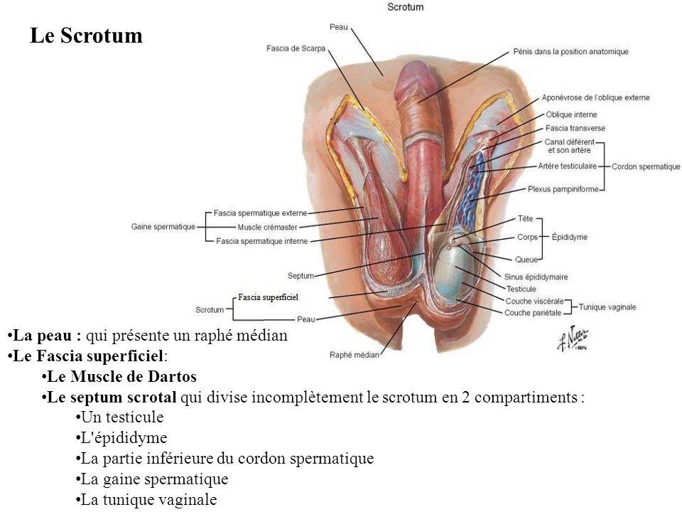 Le Scrotum La peau : qui présente un raphé médian