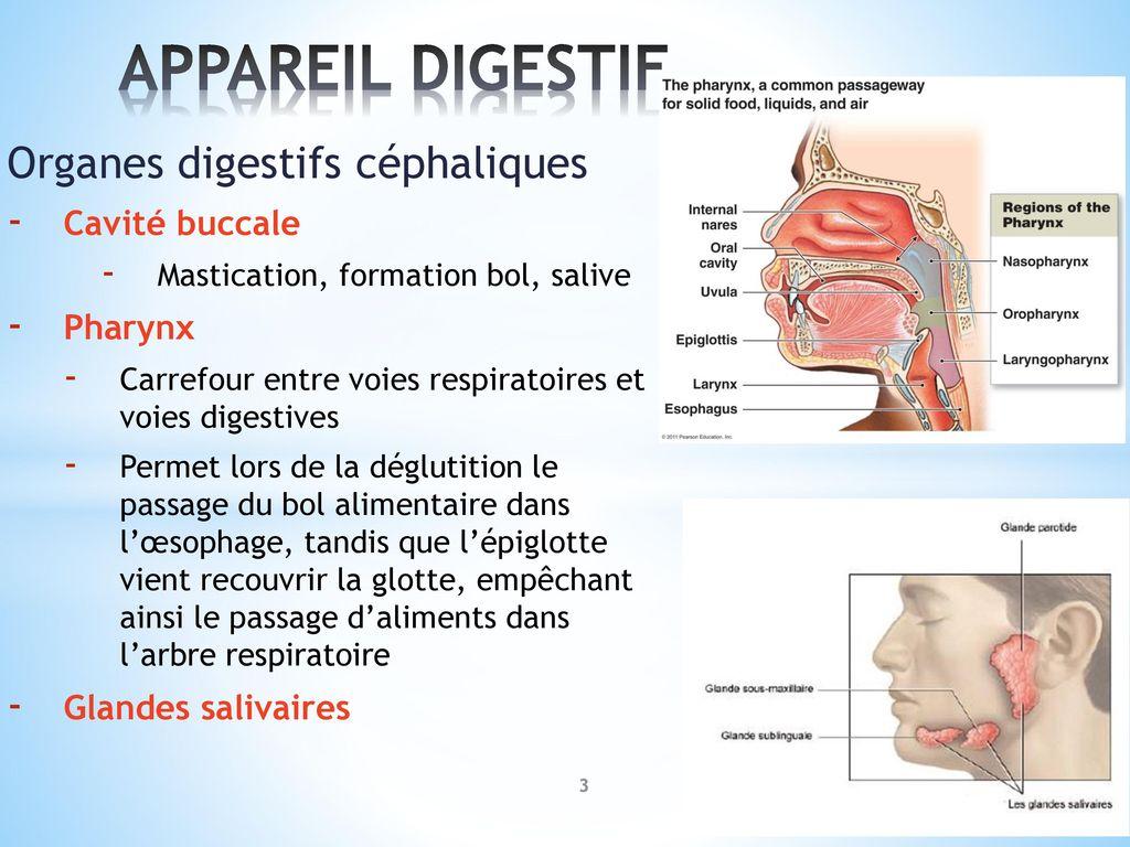 Erfreut Ulnarnerv Anatomie Ppt Bilder - Anatomie Und Physiologie ...
