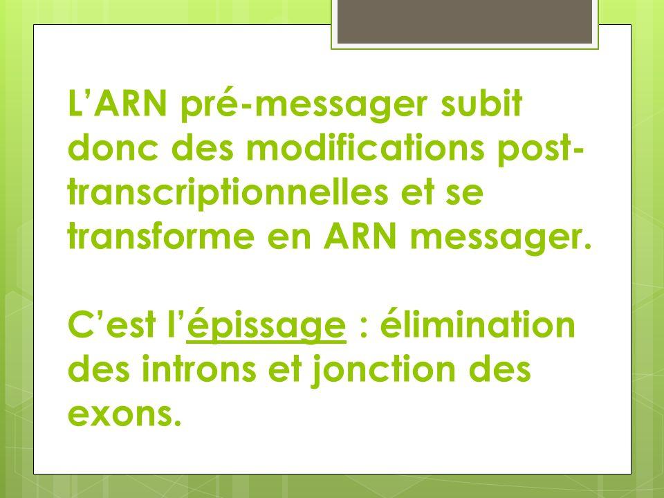 L'ARN pré-messager subit donc des modifications post-transcriptionnelles et se transforme en ARN messager.