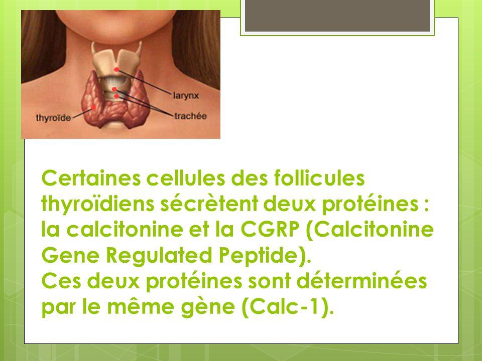 Certaines cellules des follicules thyroïdiens sécrètent deux protéines : la calcitonine et la CGRP (Calcitonine Gene Regulated Peptide).