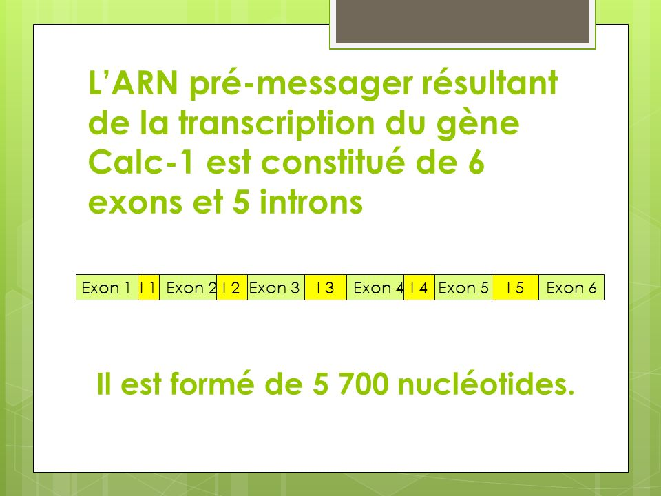 L'ARN pré-messager résultant de la transcription du gène Calc-1 est constitué de 6 exons et 5 introns