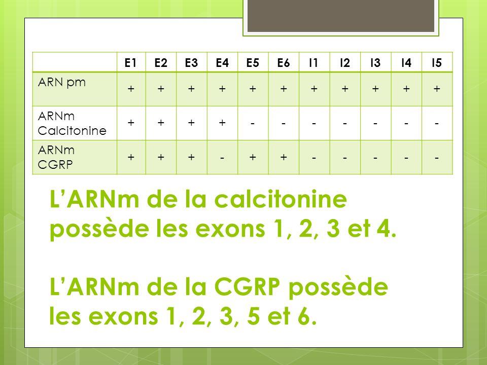 E1 E2. E3. E4. E5. E6. I1. I2. I3. I4. I5. ARN pm. + ARNm Calcitonine. - ARNm CGRP.