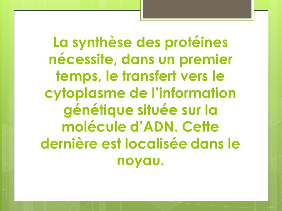 La synthèse des protéines nécessite, dans un premier temps, le transfert vers le cytoplasme de l'information génétique située sur la molécule d'ADN.