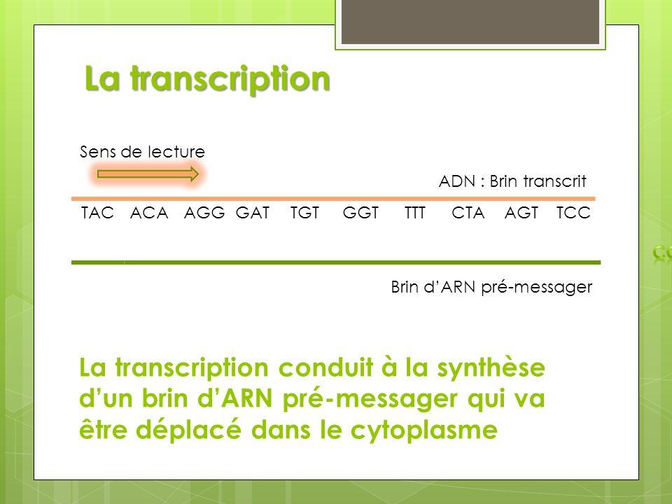 La transcription Sens de lecture. ADN : Brin transcrit. AUG. TAC. ACA. AGG. GAT. TGT. GGT. TTT.