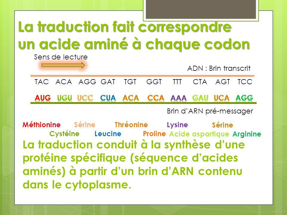 La traduction fait correspondre un acide aminé à chaque codon