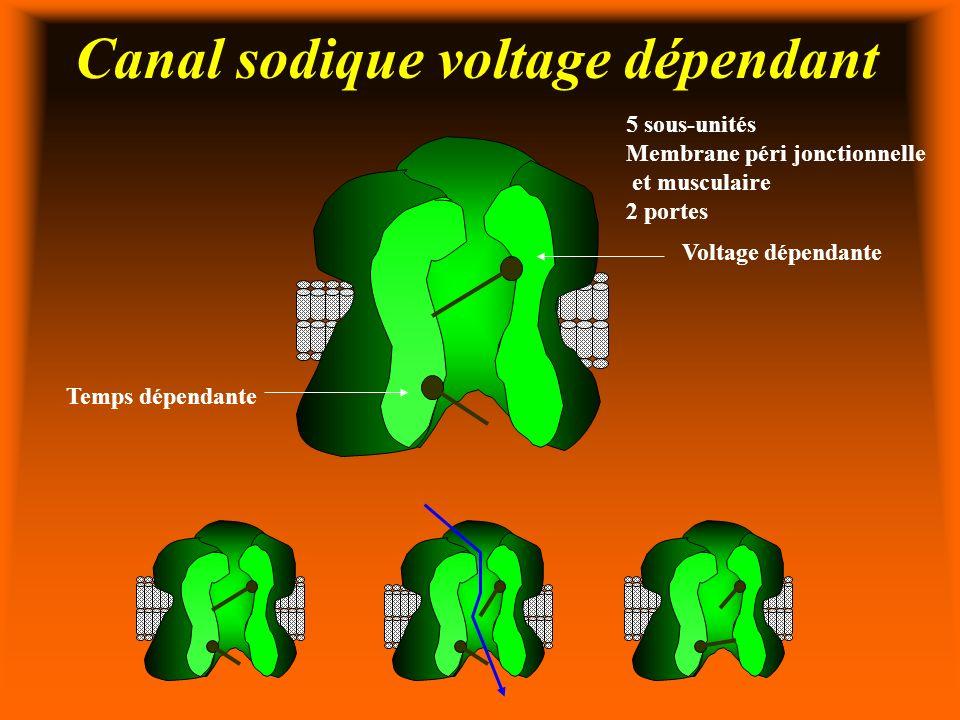 Canal sodique voltage dépendant