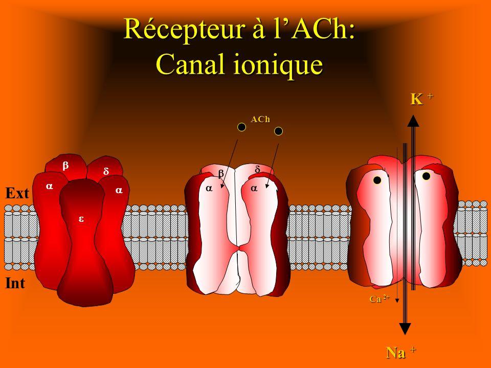 Récepteur à l'ACh: Canal ionique