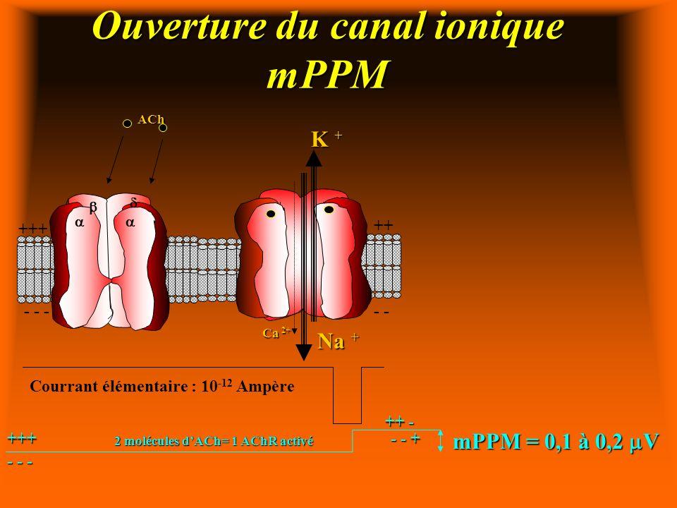 Ouverture du canal ionique mPPM
