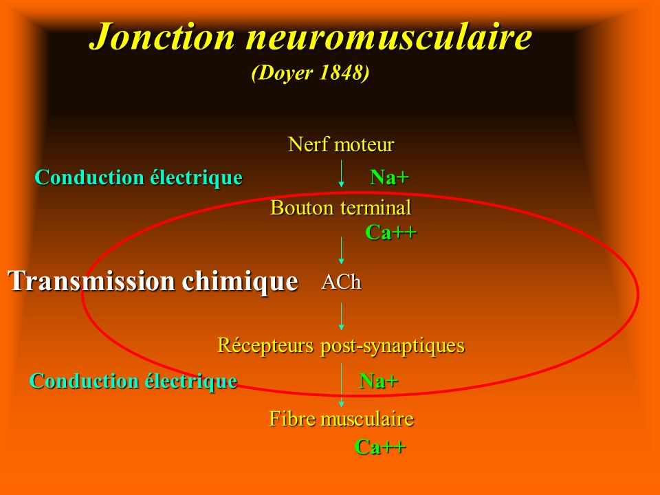 Jonction neuromusculaire (Doyer 1848)