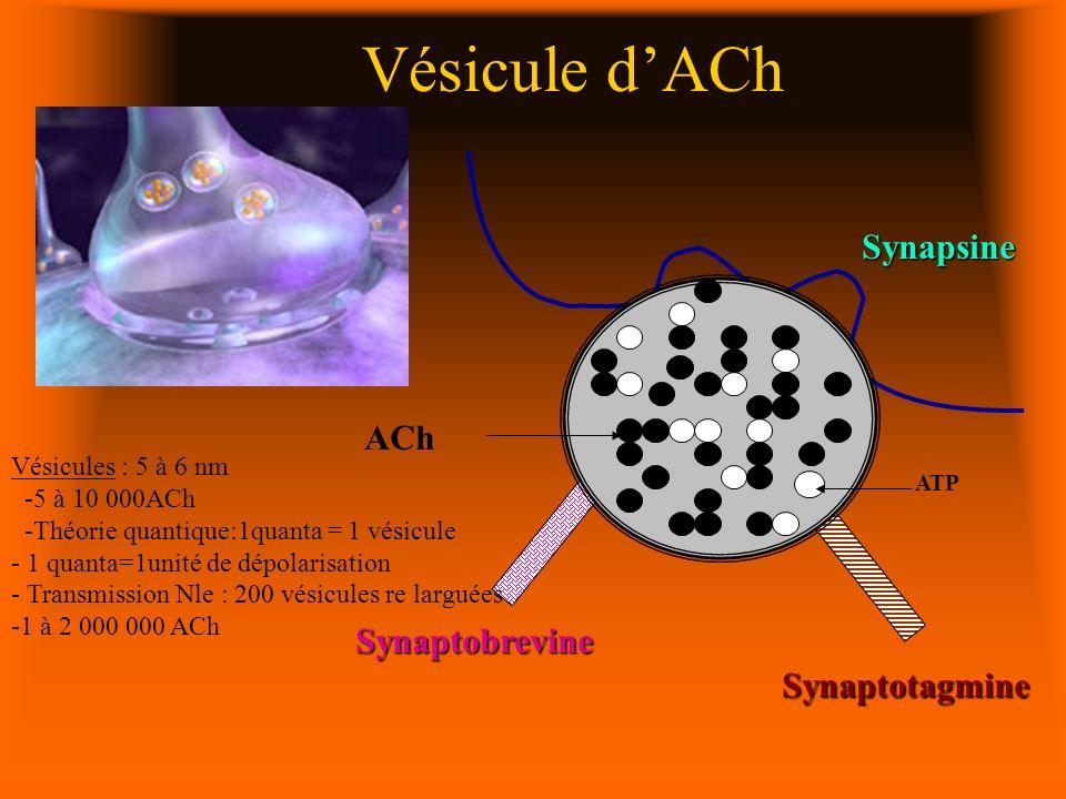 Vésicule d'ACh Synapsine ACh Synaptobrevine Synaptotagmine