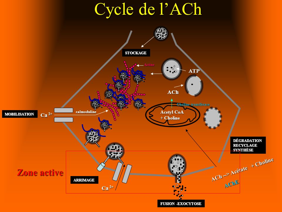 Cycle de l'ACh Zone active ATP ACh Ca 2+ ACh --> Acétate + Choline
