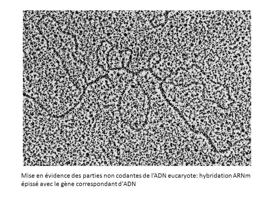 Mise en évidence des parties non codantes de l'ADN eucaryote: hybridation ARNm épissé avec le gène correspondant d ADN