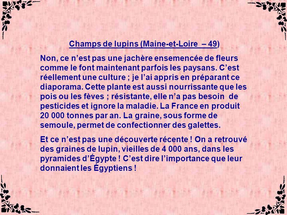 Champs de lupins (Maine-et-Loire – 49)