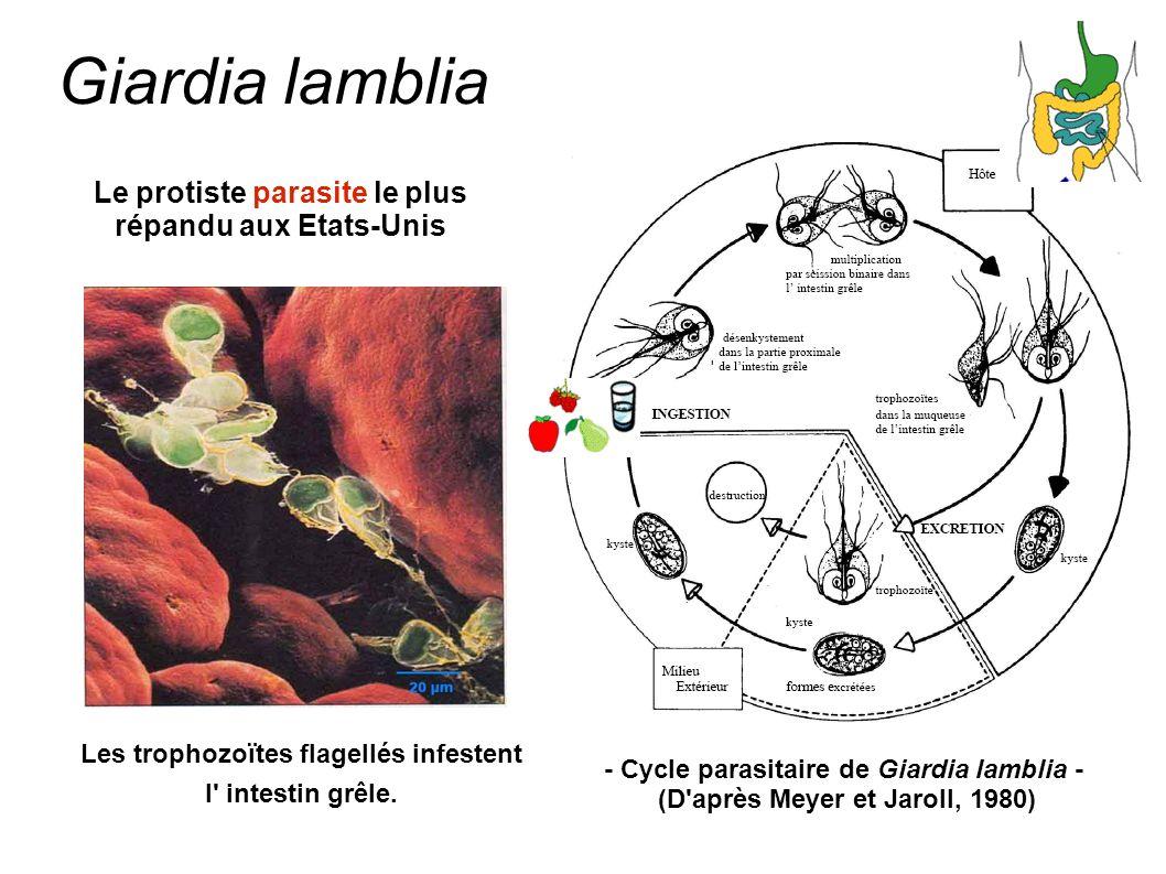 Giardia lamblia Le protiste parasite le plus répandu aux Etats-Unis