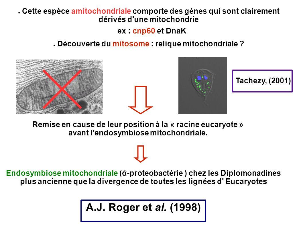 Découverte du mitosome : relique mitochondriale