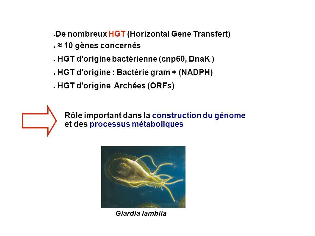 De nombreux HGT (Horizontal Gene Transfert) ≈ 10 gènes concernés
