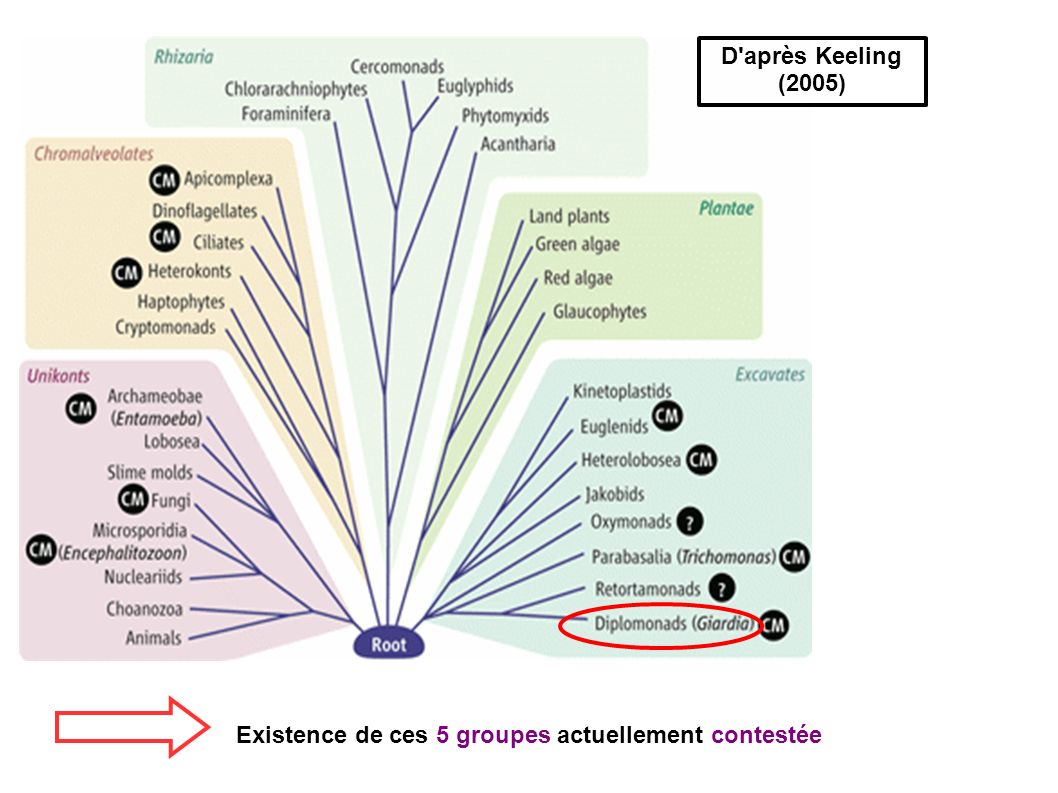 D après Keeling (2005) Existence de ces 5 groupes actuellement contestée