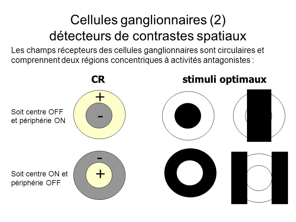 Cellules ganglionnaires (2) détecteurs de contrastes spatiaux