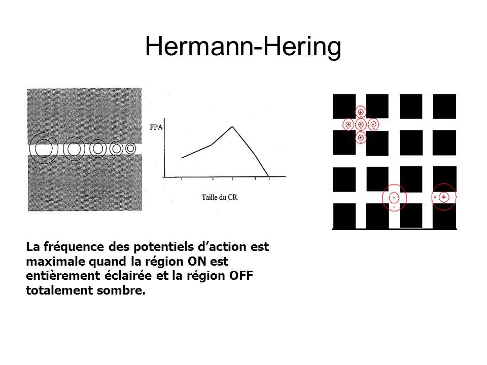 Hermann-Hering La fréquence des potentiels d'action est maximale quand la région ON est entièrement éclairée et la région OFF totalement sombre.