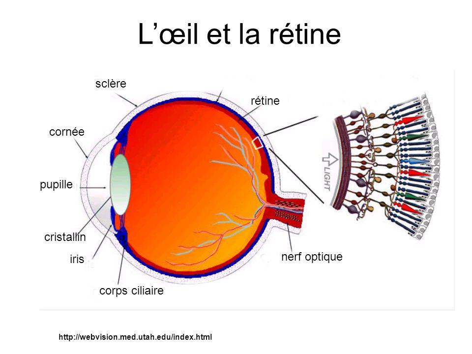 L'œil et la rétine sclère rétine cornée pupille cristallin
