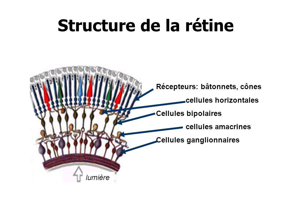 Structure de la rétine Récepteurs: bâtonnets, cônes