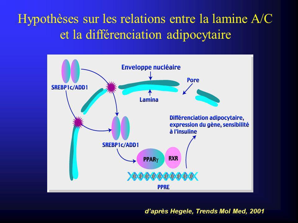 Hypothèses sur les relations entre la lamine A/C et la différenciation adipocytaire