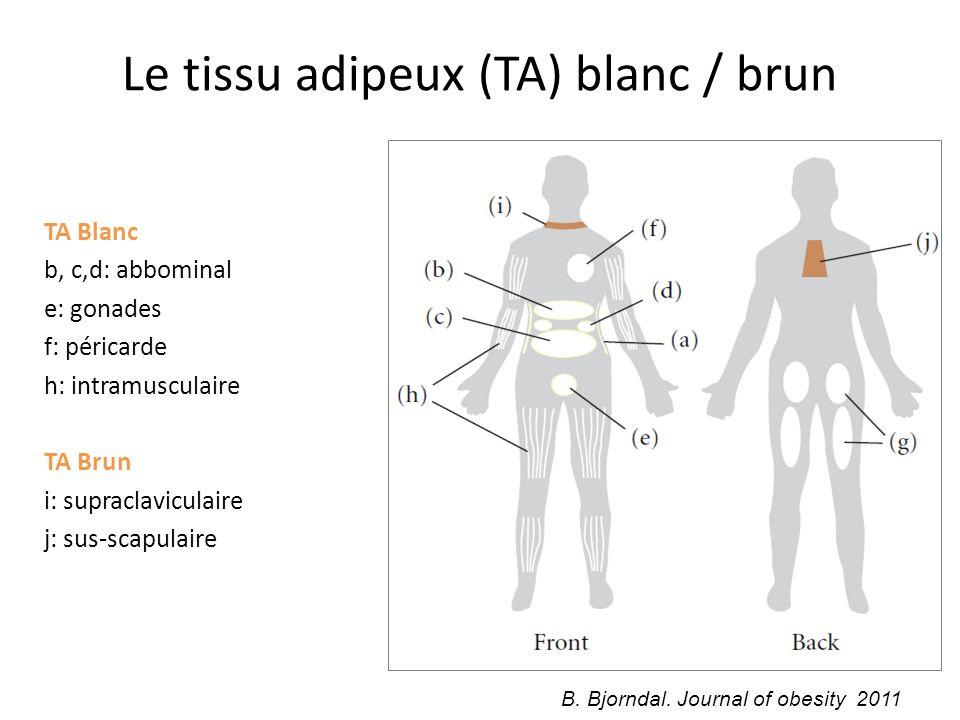 Le tissu adipeux (TA) blanc / brun
