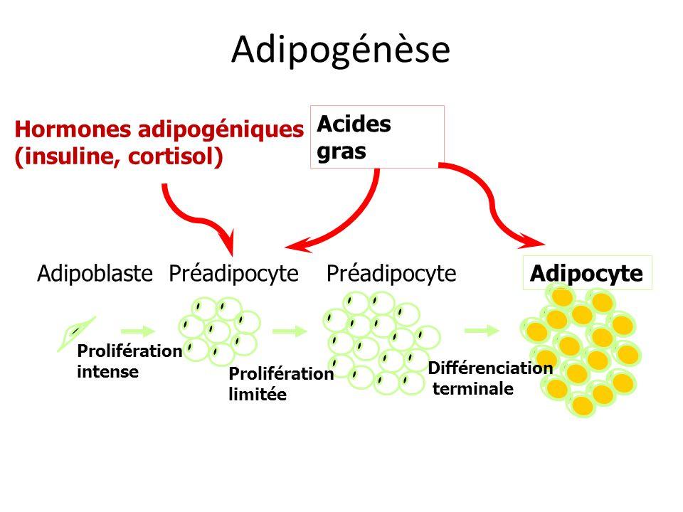 Adipogénèse Acides gras Hormones adipogéniques (insuline, cortisol)