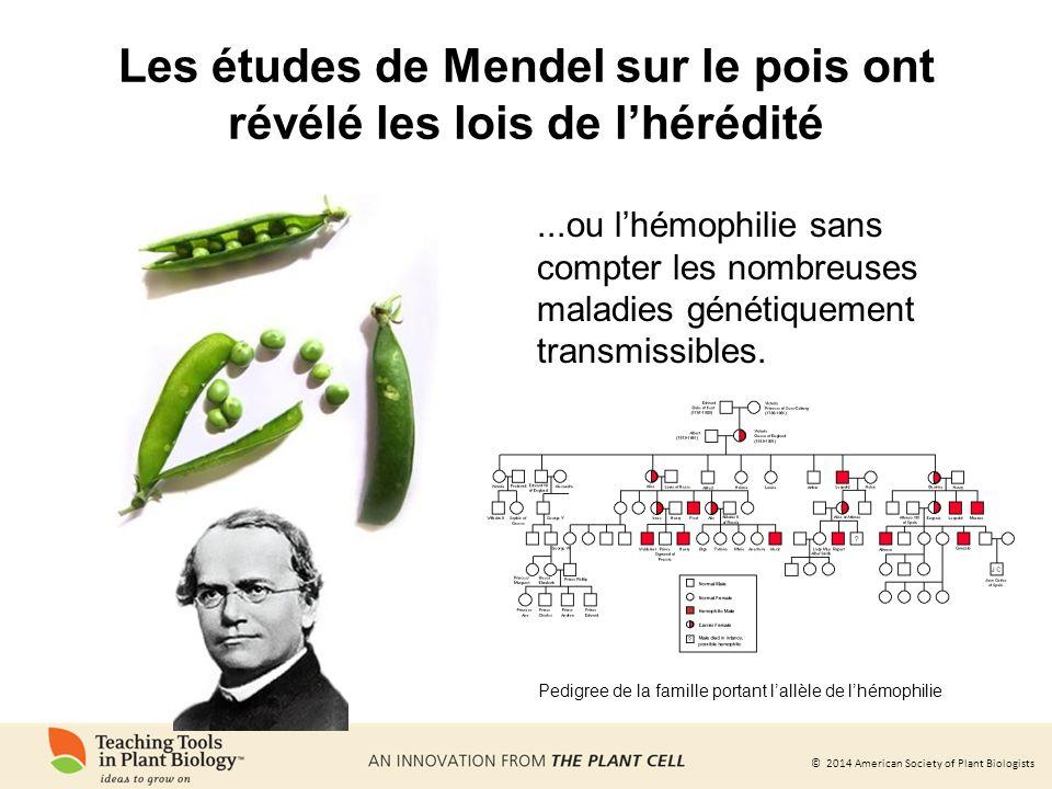 Les études de Mendel sur le pois ont révélé les lois de l'hérédité