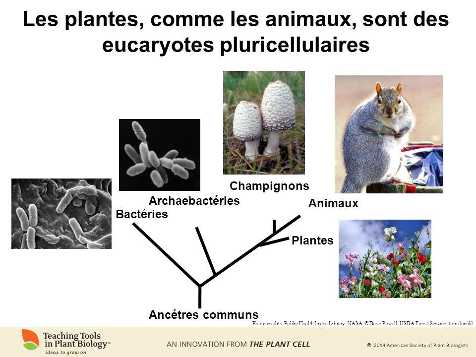 Les plantes, comme les animaux, sont des eucaryotes pluricellulaires