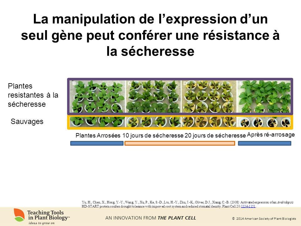 La manipulation de l'expression d'un seul gène peut conférer une résistance à la sécheresse