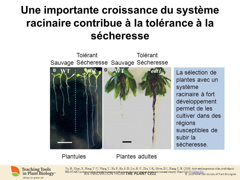 Une importante croissance du système racinaire contribue à la tolérance à la sécheresse