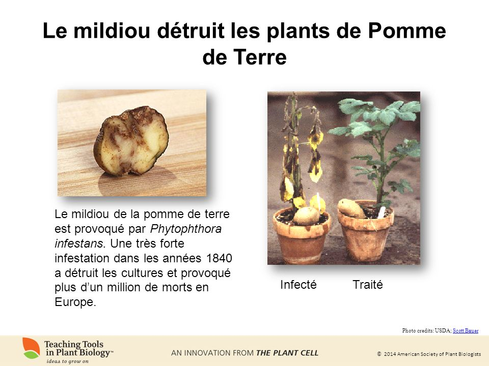 Le mildiou détruit les plants de Pomme de Terre