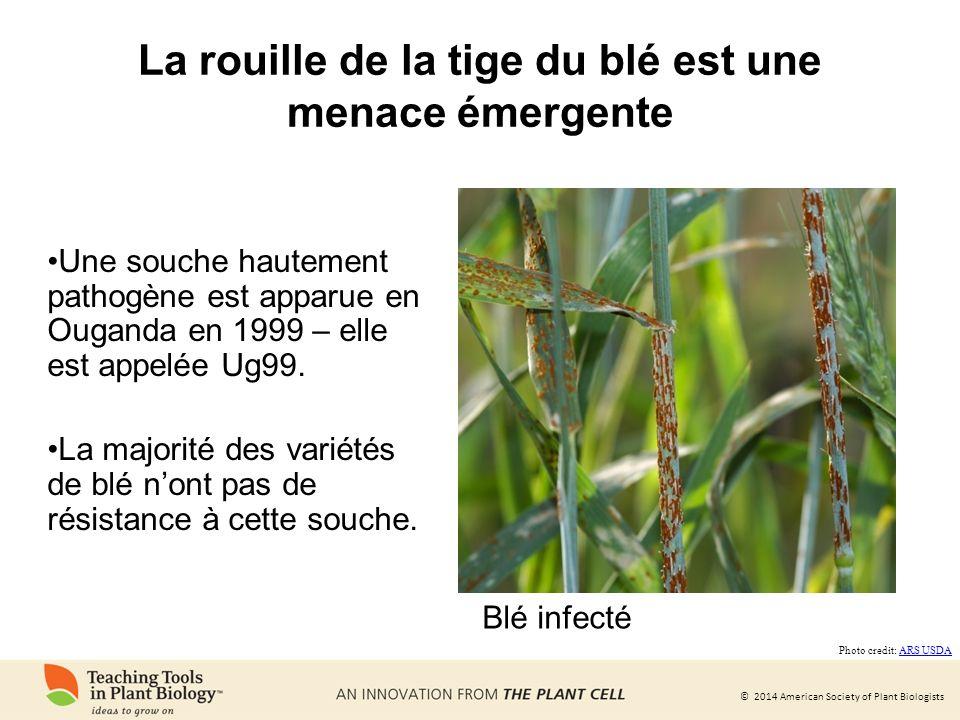 La rouille de la tige du blé est une menace émergente