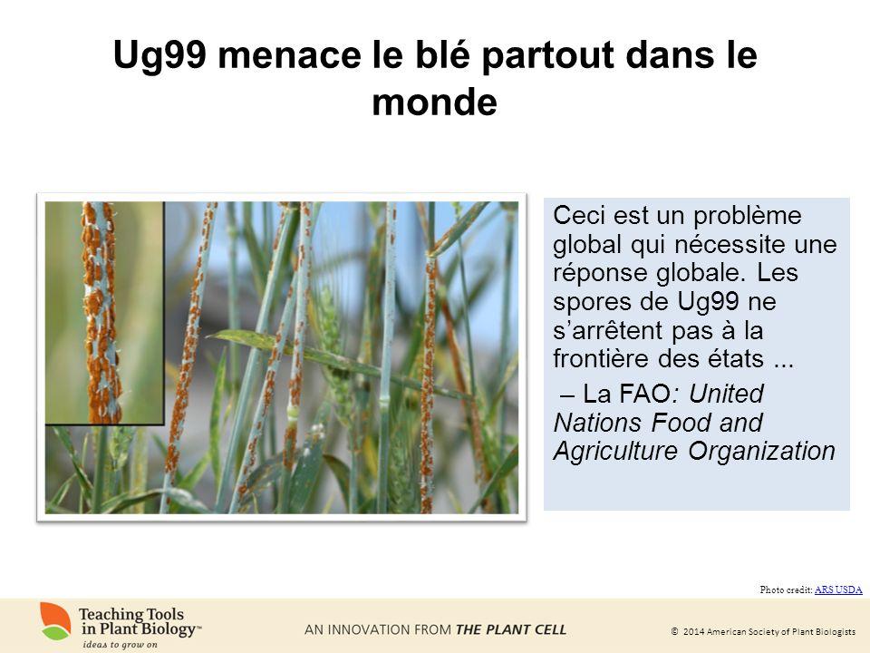 Ug99 menace le blé partout dans le monde