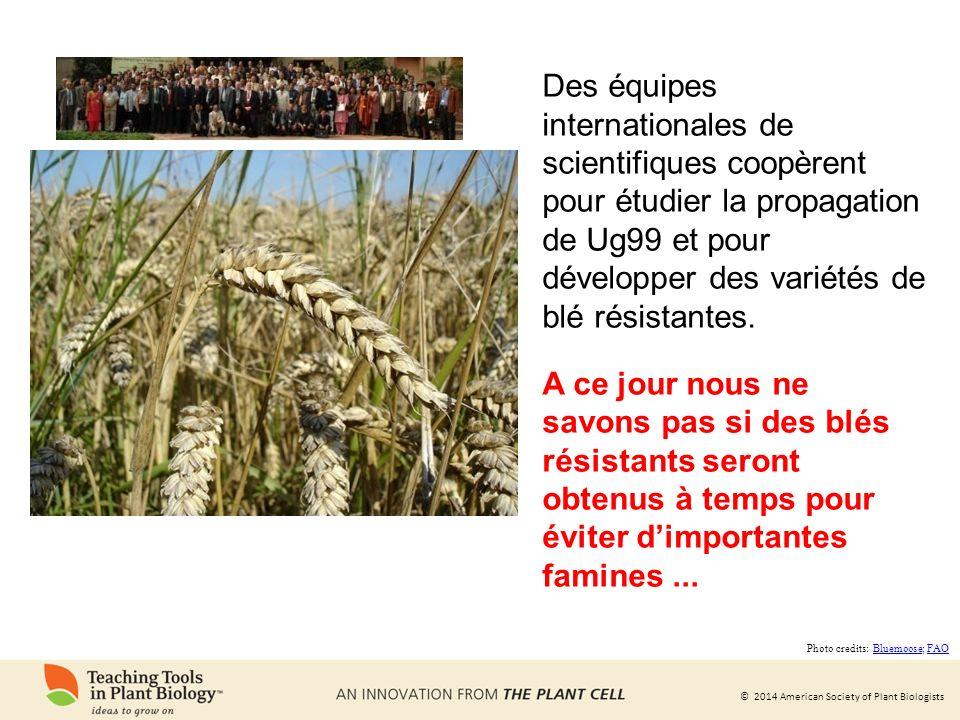 Des équipes internationales de scientifiques coopèrent pour étudier la propagation de Ug99 et pour développer des variétés de blé résistantes.
