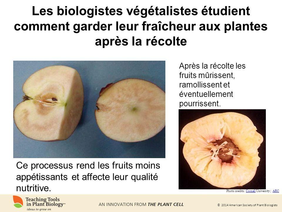 Les biologistes végétalistes étudient comment garder leur fraîcheur aux plantes après la récolte