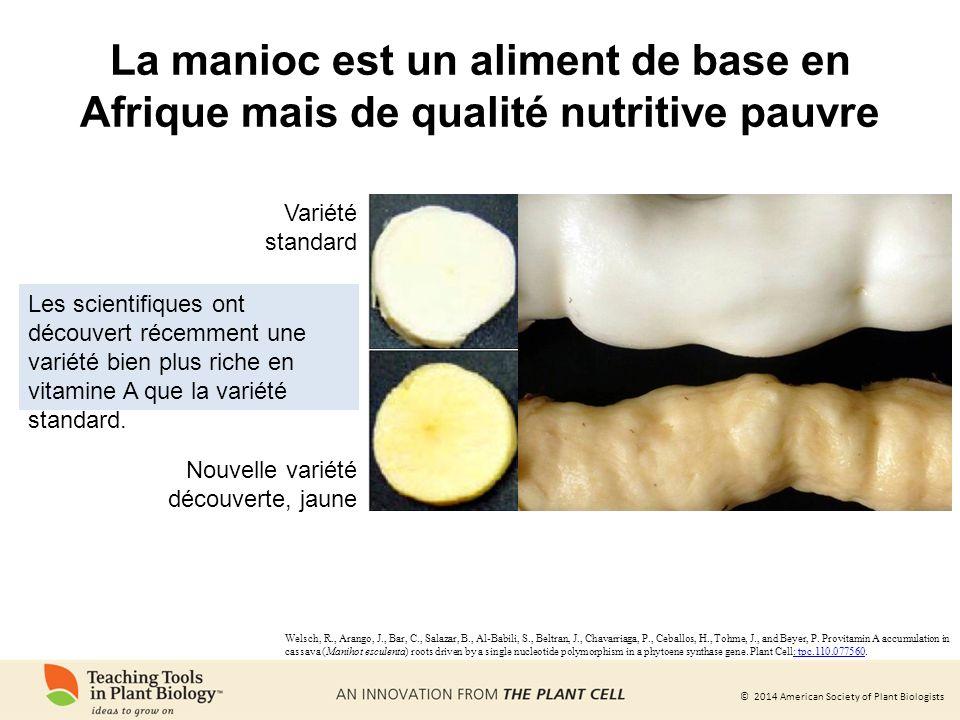 La manioc est un aliment de base en Afrique mais de qualité nutritive pauvre
