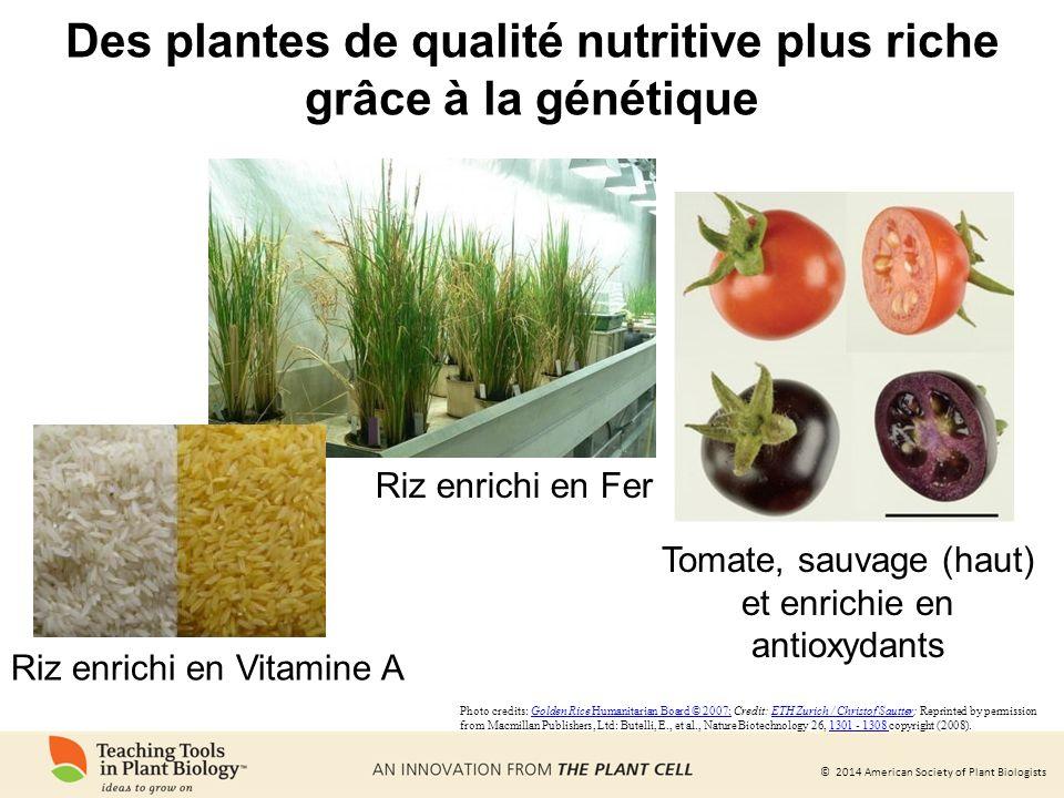 Des plantes de qualité nutritive plus riche grâce à la génétique