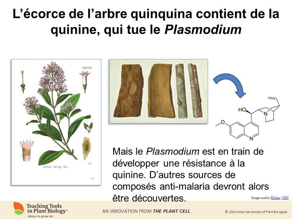 L'écorce de l'arbre quinquina contient de la quinine, qui tue le Plasmodium