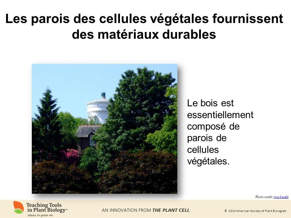 Les parois des cellules végétales fournissent des matériaux durables