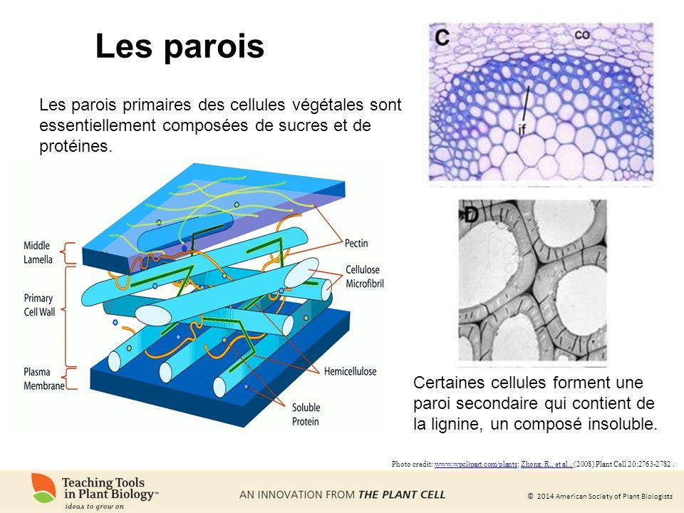 Les parois Les parois primaires des cellules végétales sont essentiellement composées de sucres et de protéines.