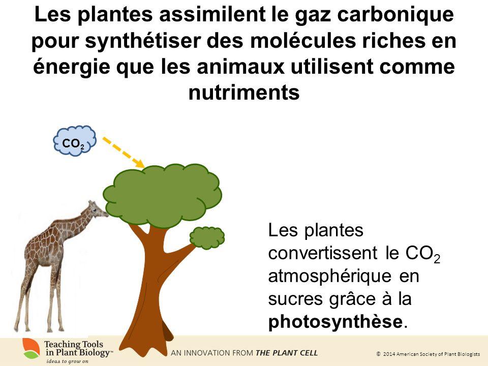 Les plantes assimilent le gaz carbonique pour synthétiser des molécules riches en énergie que les animaux utilisent comme nutriments