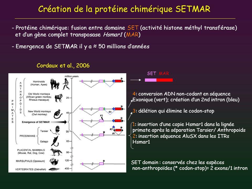 Création de la protéine chimérique SETMAR