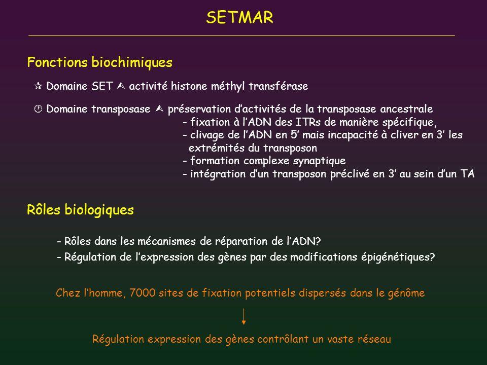 SETMAR Fonctions biochimiques Rôles biologiques