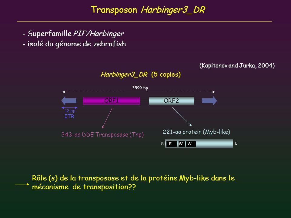 Transposon Harbinger3_DR