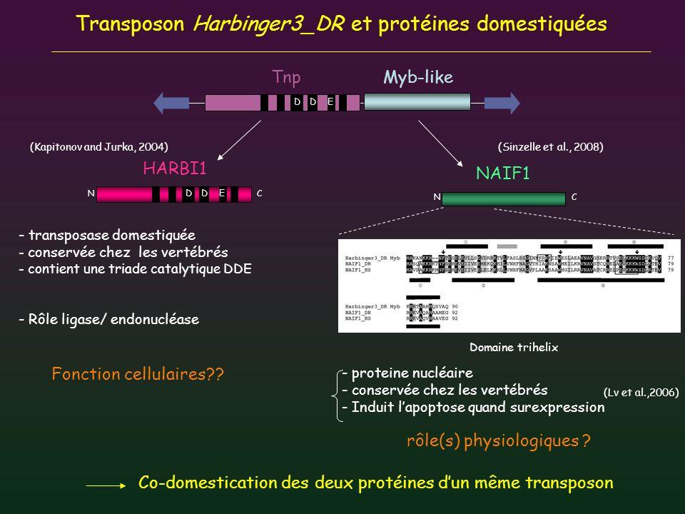 Transposon Harbinger3_DR et protéines domestiquées