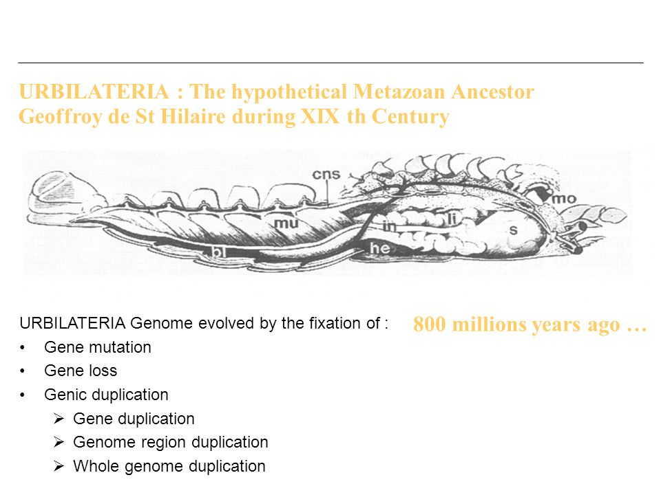 URBILATERIA : The hypothetical Metazoan Ancestor