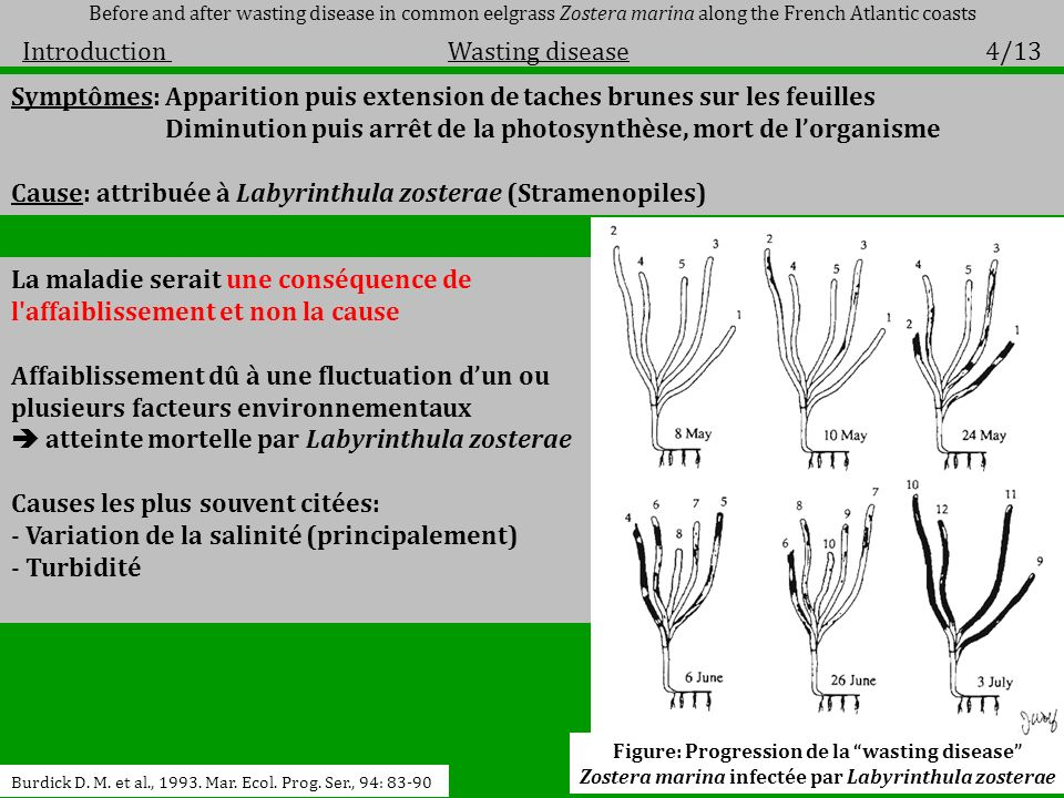 Symptômes: Apparition puis extension de taches brunes sur les feuilles