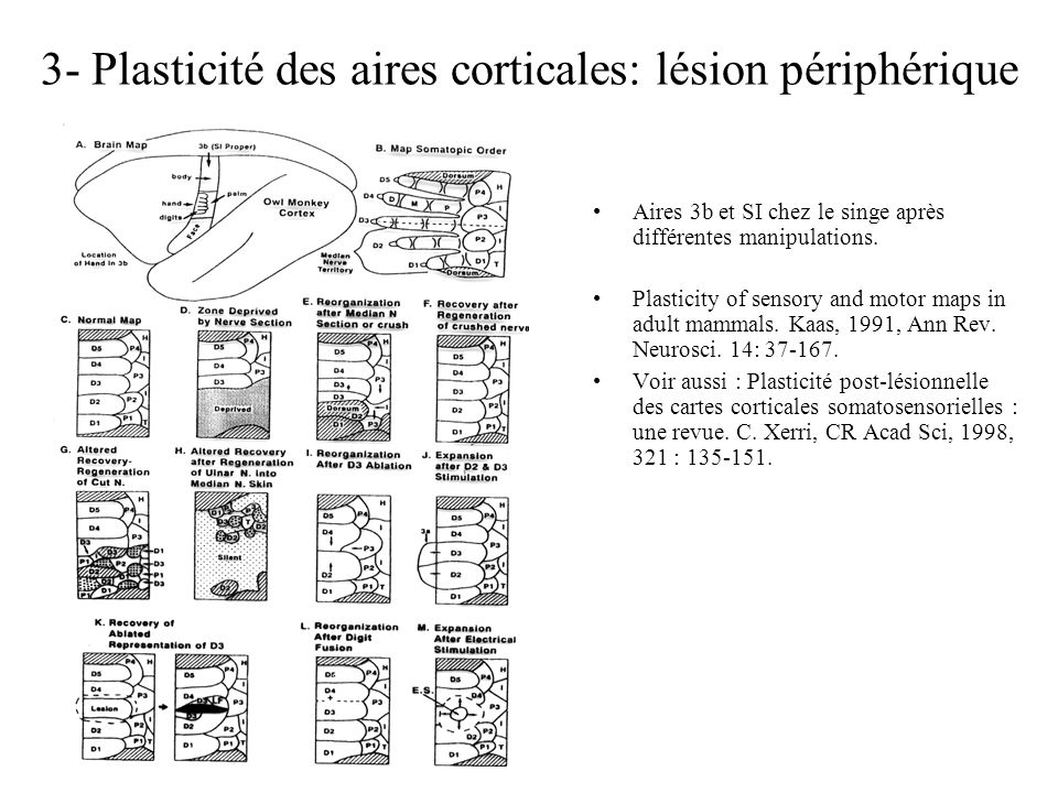 3- Plasticité des aires corticales: lésion périphérique